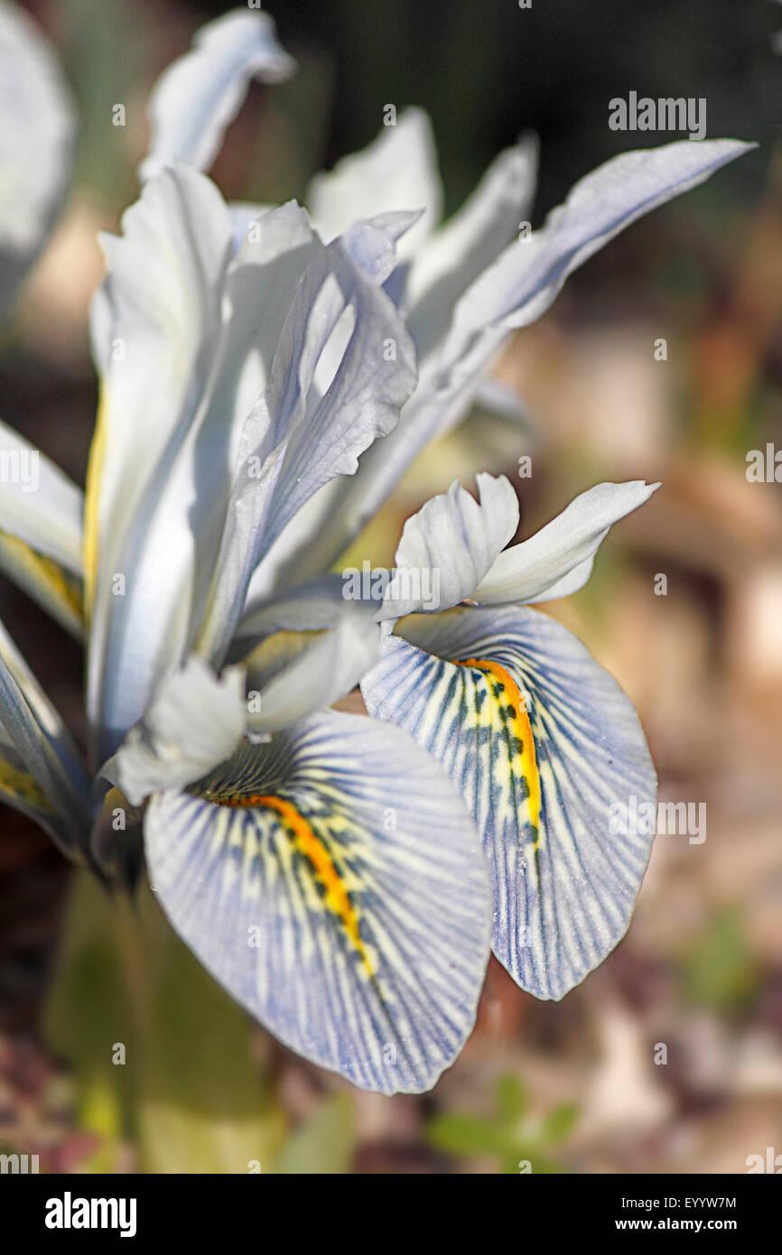 Iris (Iris Lutescens), blühende Pflanze Stockfoto