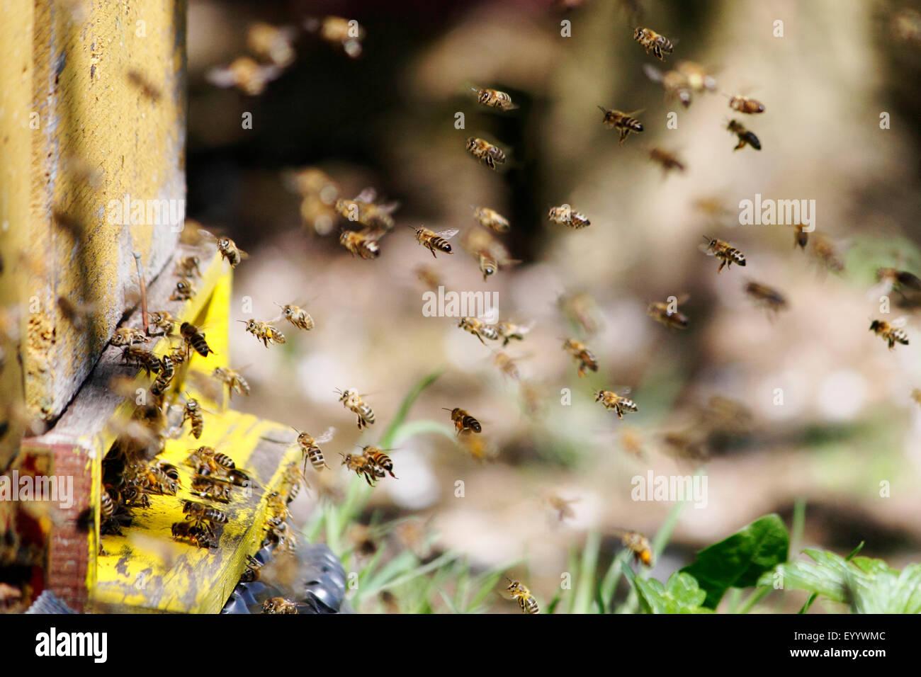 Honigbiene, Bienenkorb Biene (Apis Mellifera Mellifera), fliegende Bienen um die Box, Deutschland Stockbild