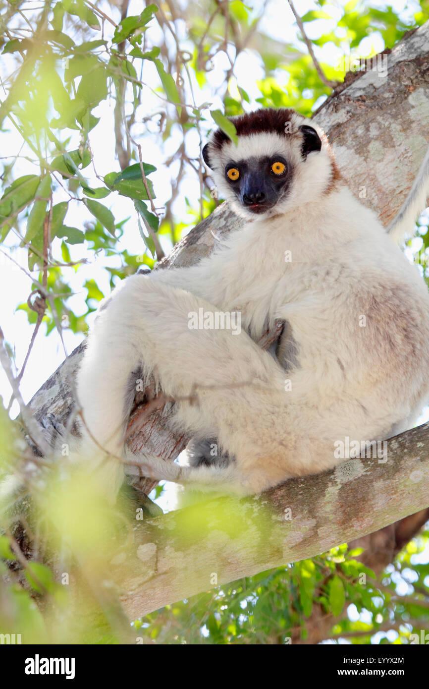 Verreaux Sifaka (Propithecus Verreauxi), auf einem Ast sitzen und blickte, Madagaskar, Isalo Nationalpark Stockbild