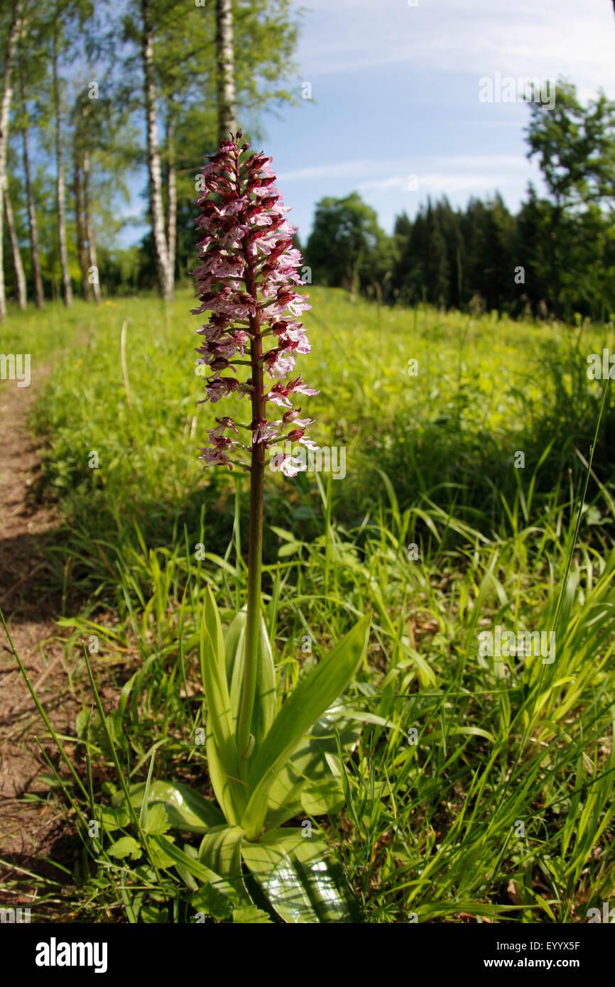 duftende orchidee gymnadenia conopsea bl hende pflanze auf einer wiese deutschland baden. Black Bedroom Furniture Sets. Home Design Ideas
