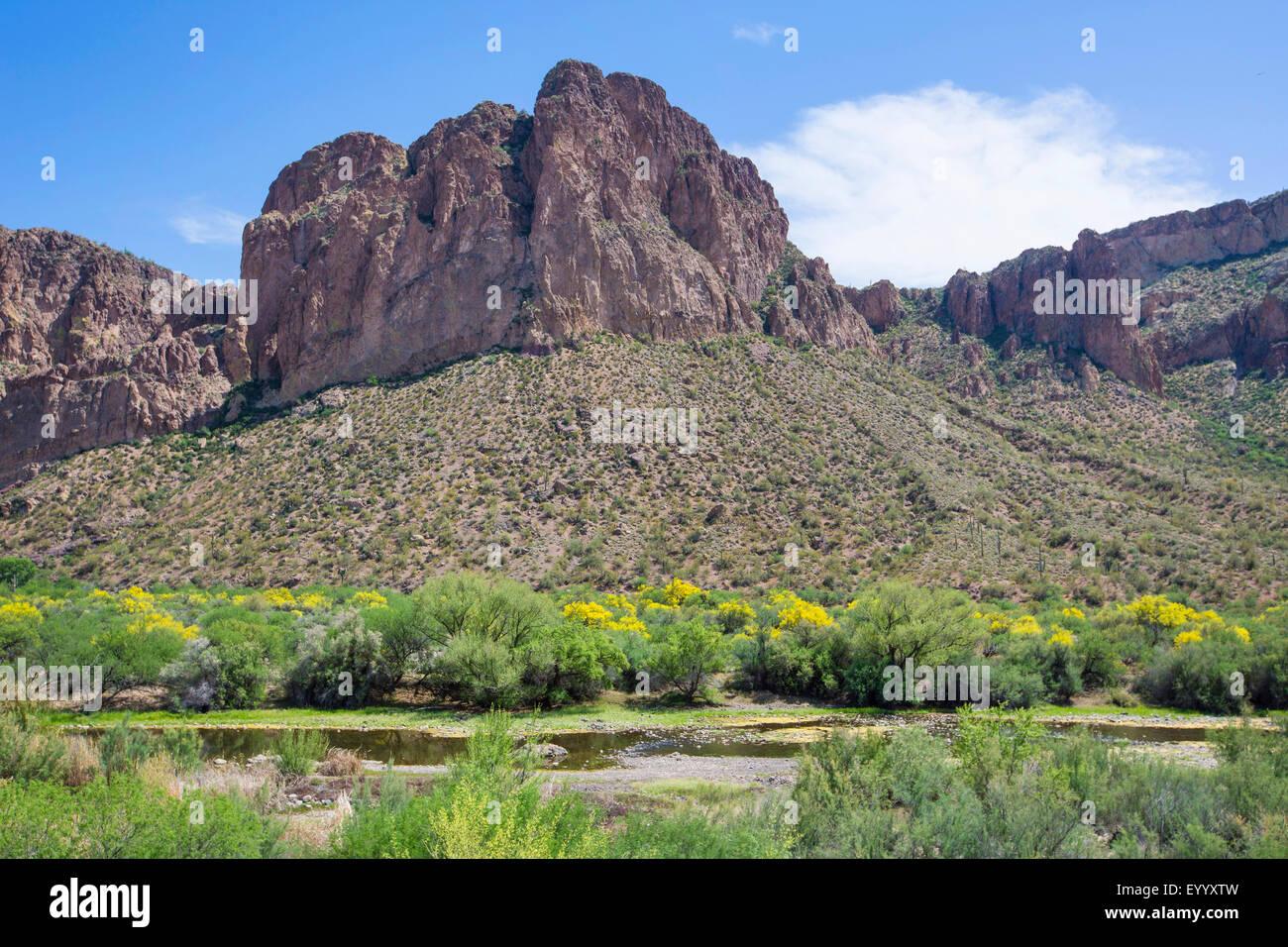 Blaue Palo Verde (Parkinsonia Florida), Salt River mit blühenden Parkinsonia Florida am Ufer, USA, Arizona, Stockbild