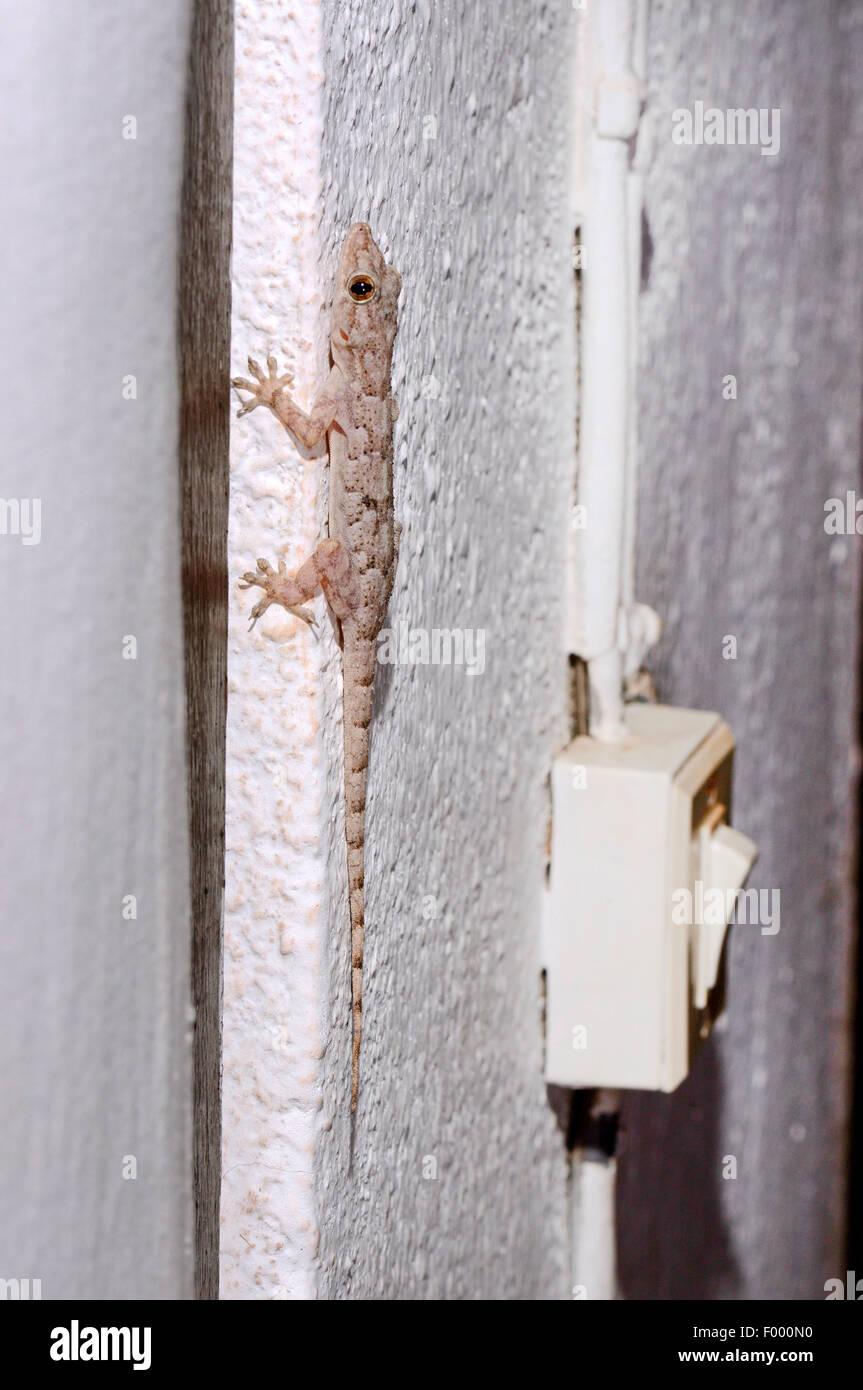 Afrikanisches Haus Gecko (Hemidactylus Mercatorius), setzt sich ...