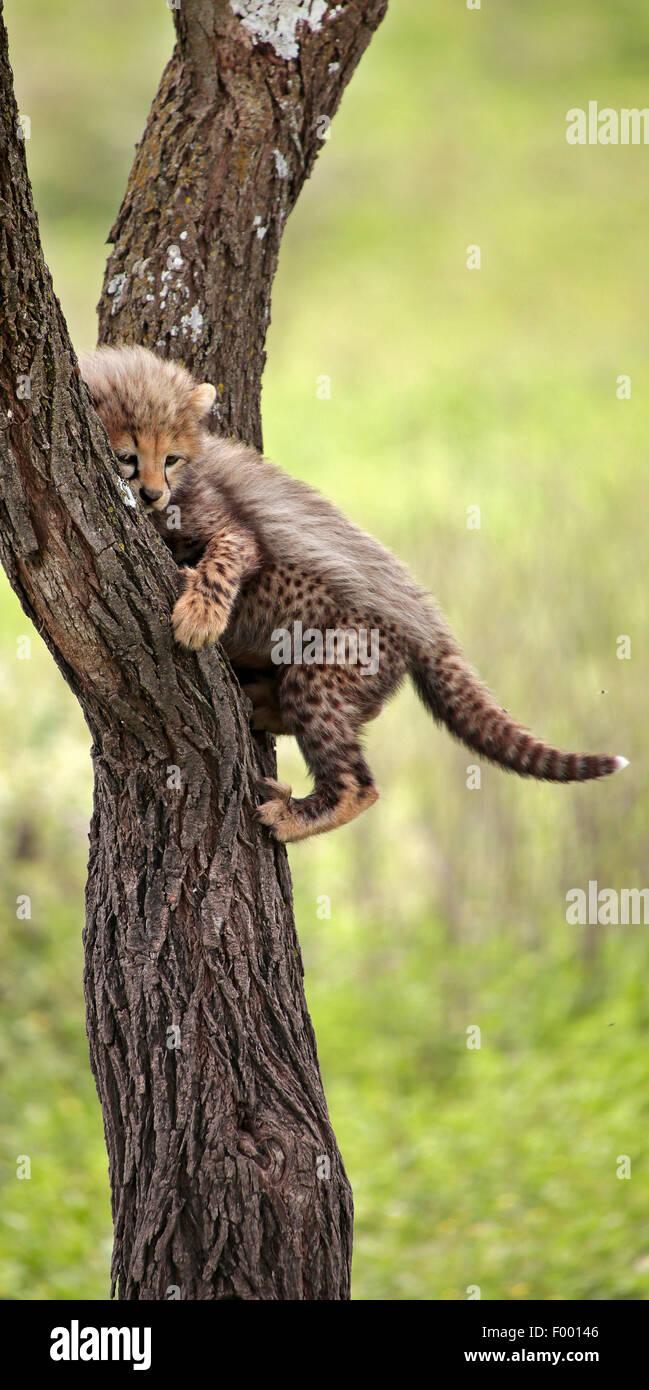 Gepard (Acinonyx Jubatus), Jungtier auf einem Baum, Afrika Stockbild
