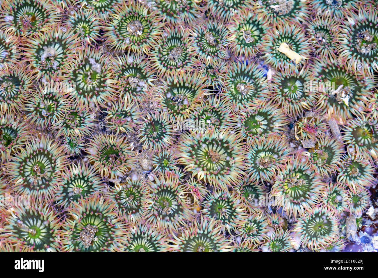 riesige grüne Anemone, große grüne Anemone (Anthopleura Xanthogrammica), Gruppe von Anemonen im flachen Stockbild