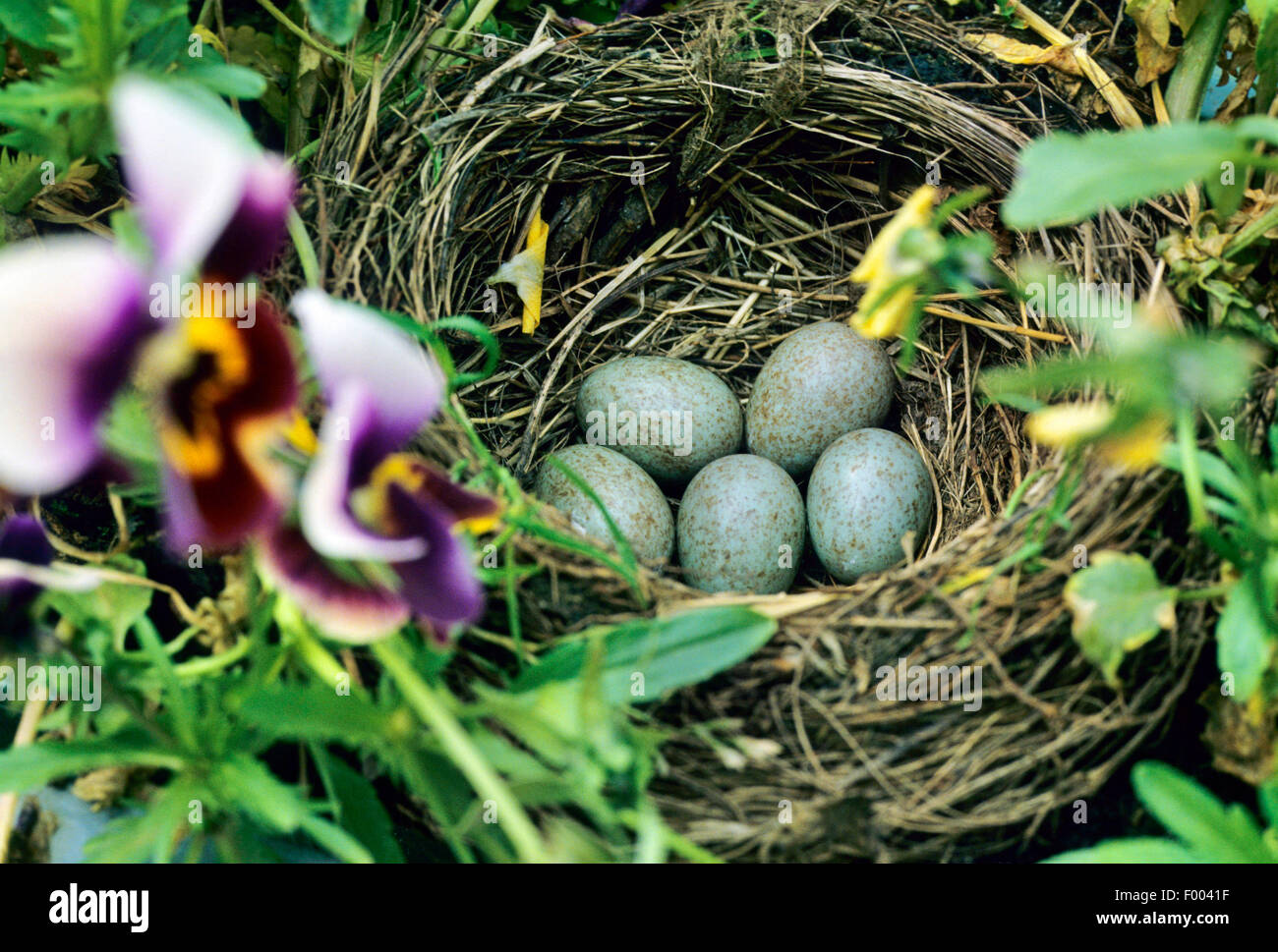 songbird egg in nest stockfotos songbird egg in nest bilder alamy. Black Bedroom Furniture Sets. Home Design Ideas