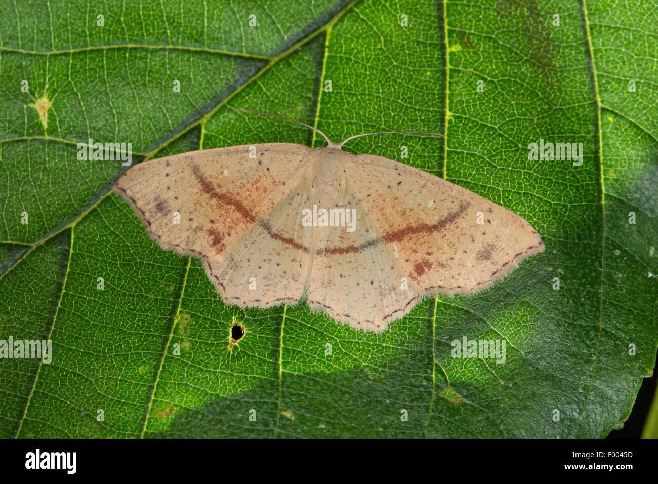 Maidens Blush Motte (Cosymbia Punctaria, Cyclophora Punctaria), auf einem Blatt, Deutschland Stockbild