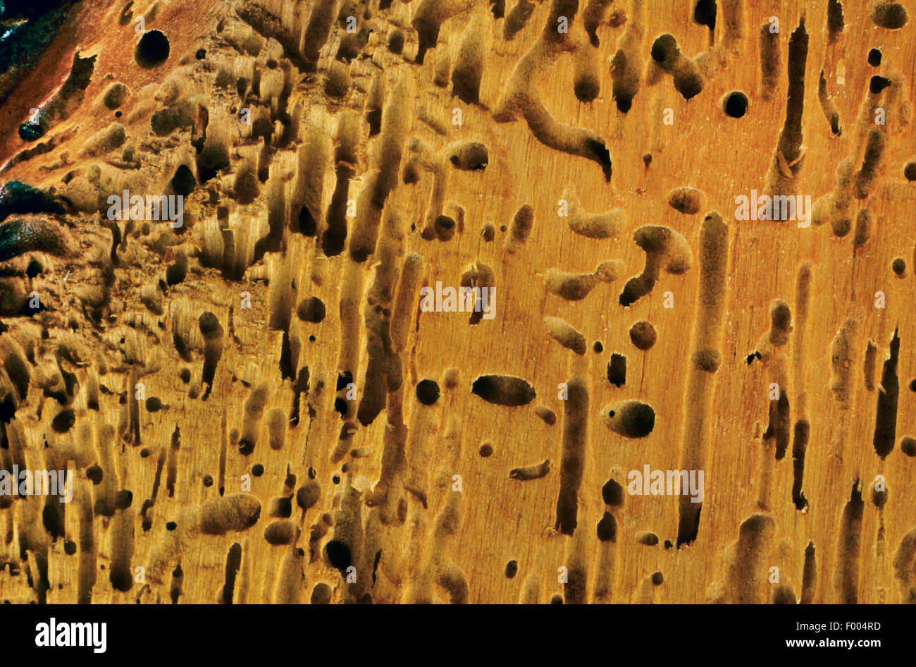 Möbel-Käfer, Holzwurm (Anobium spec.), Schäden Stockbild