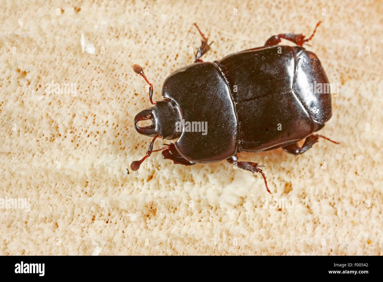 Imitieren Sie Käfer (Hololepta Plana), auf Holz, Deutschland Stockbild