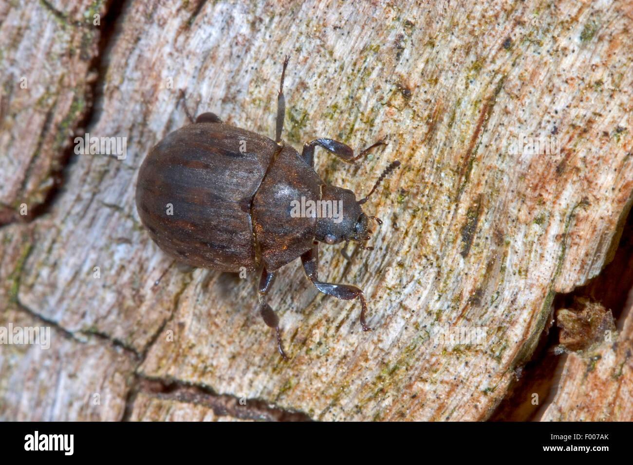 Pille-Käfer (Byrrhus Pilula), sitzen auf Holz, Deutschland Stockbild
