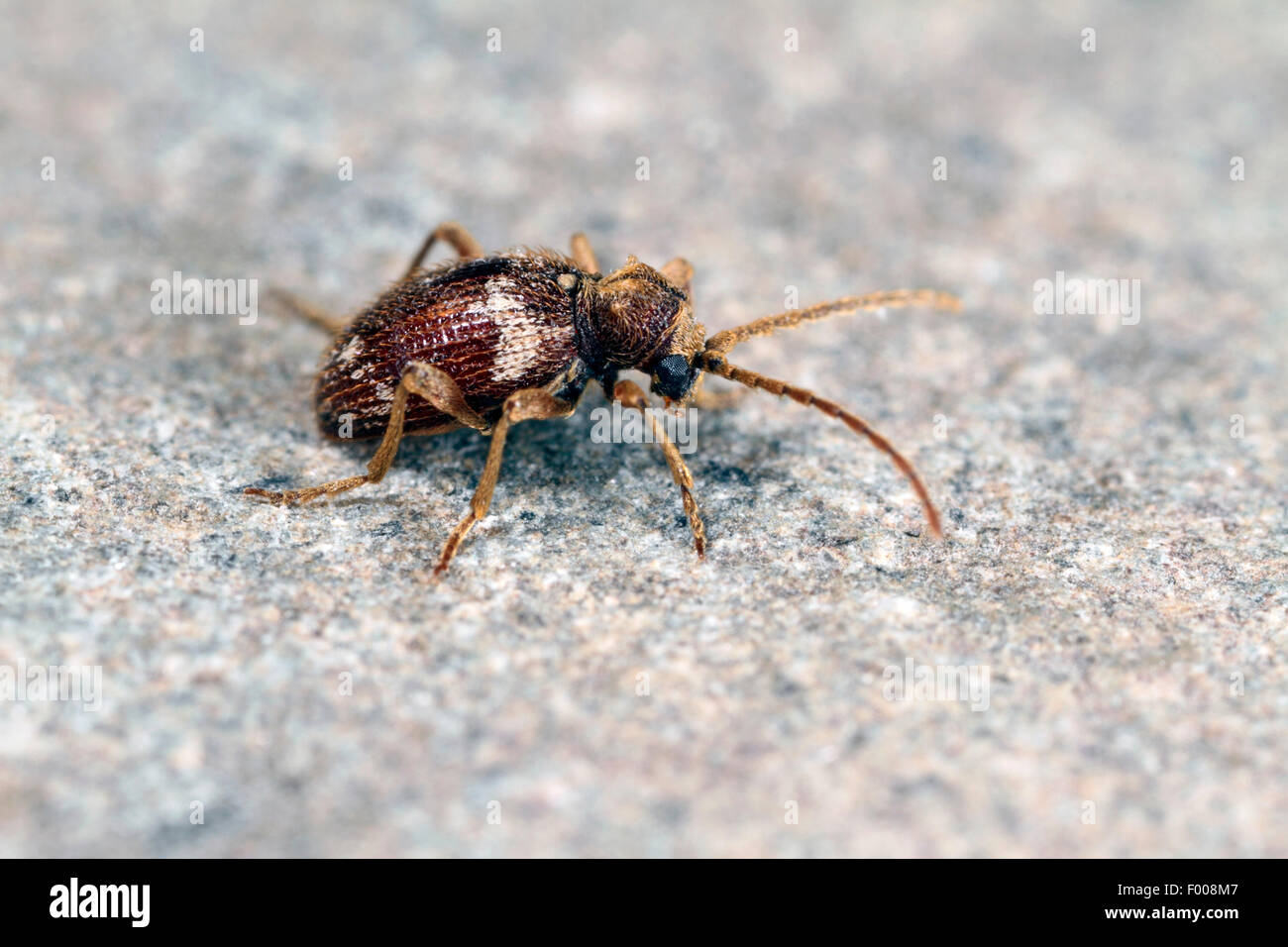 Furniture beetle stockfotos furniture beetle bilder alamy for Boden deutschland