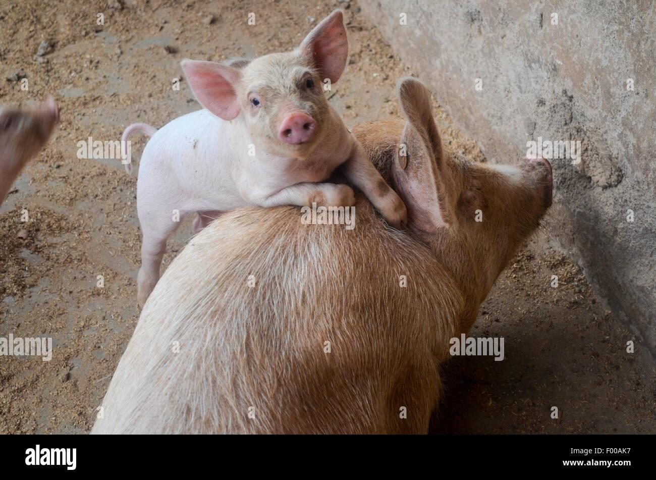 Schweine und Ferkel Stockbild