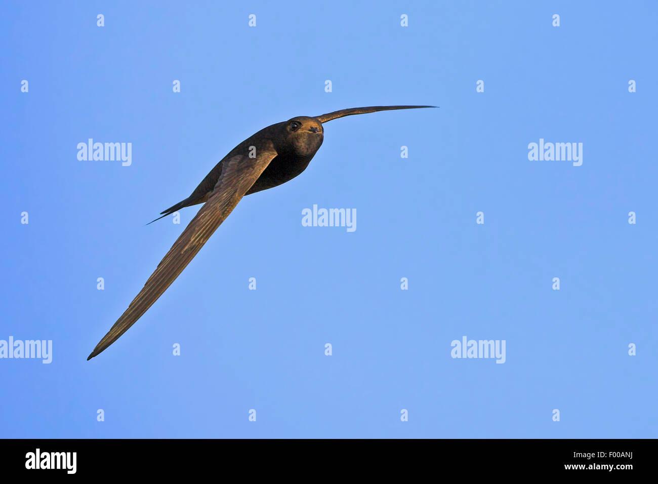 Eurasische Swift (Apus Apus), während des Fluges in den blauen Himmel, Deutschland, Baden-Württemberg Stockfoto