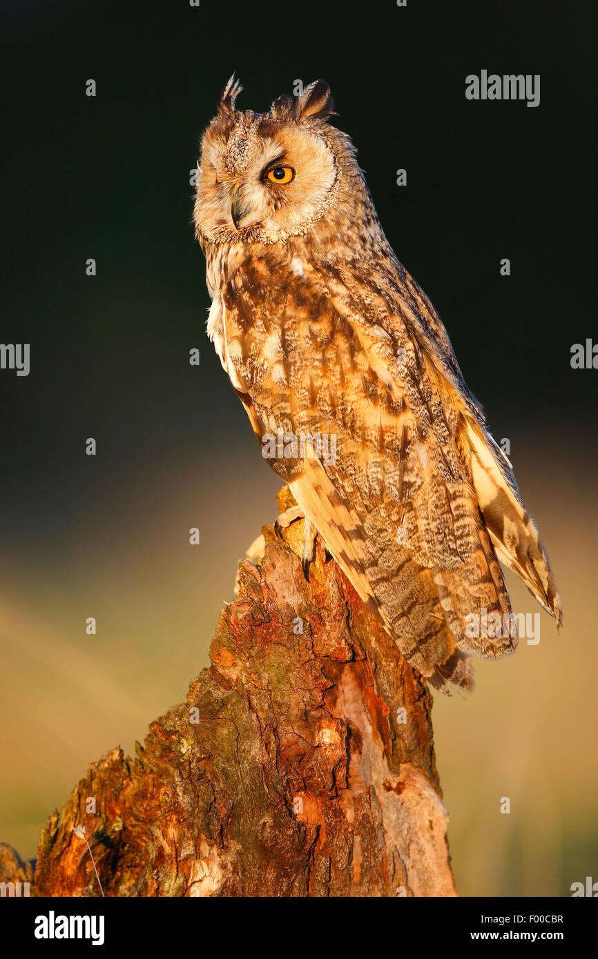 Waldohreule (Asio Otus), hocken auf Baumstumpf am Waldrand im Abendlicht, Belgien Stockbild