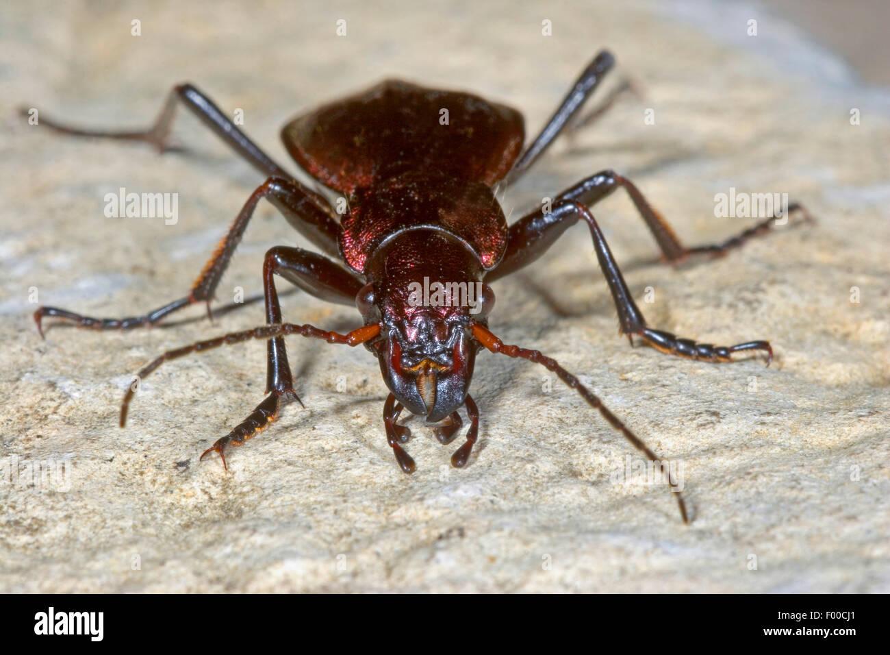 Montane Boden Käfer (Carabus Irregularis, Platycarabus Irregularis), Frontansicht, Deutschland Stockbild