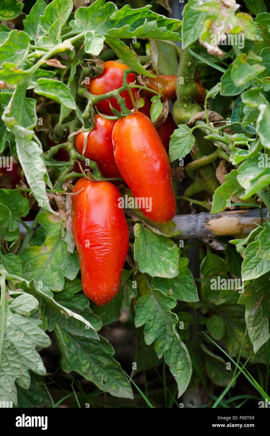 Heimische Pflanzen Für Den Garten san marzano tomaten wachsen auf pflanzen im heimischen garten