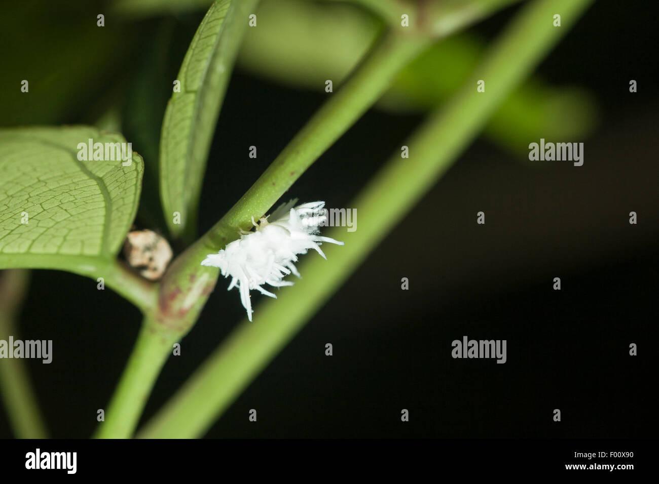 Schmierlaus Zerstörer Larve.  Diese Insektenlarven imitieren das Aussehen ihrer Beutetiere. Stockbild
