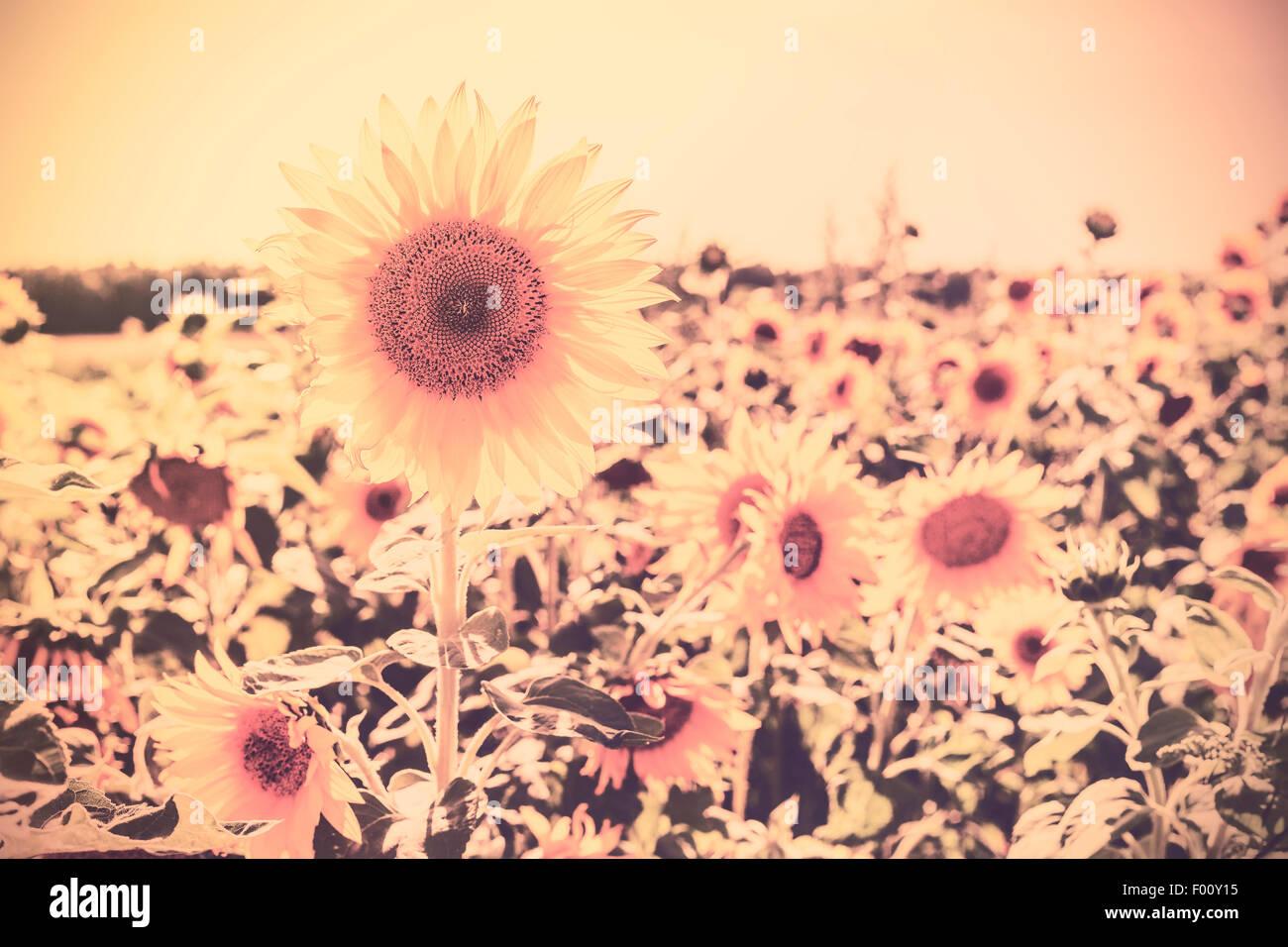Retro Sepia getönten Natur Hintergrund gemacht von Sonnenblumen. Stockbild