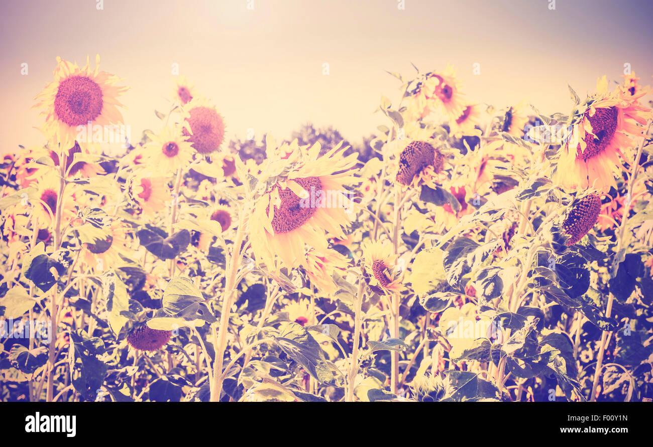 Retro Vintage getönten Natur Hintergrund gemacht von Sonnenblumen. Stockbild