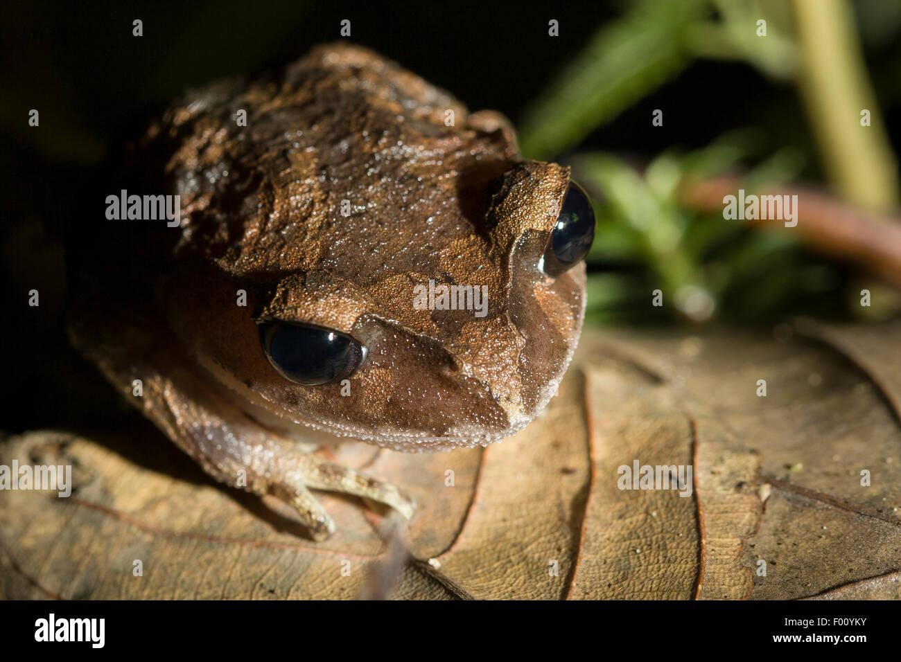 Montane Wurf Frosch (Leptobrachium Montanum) in der Nacht. Stockbild
