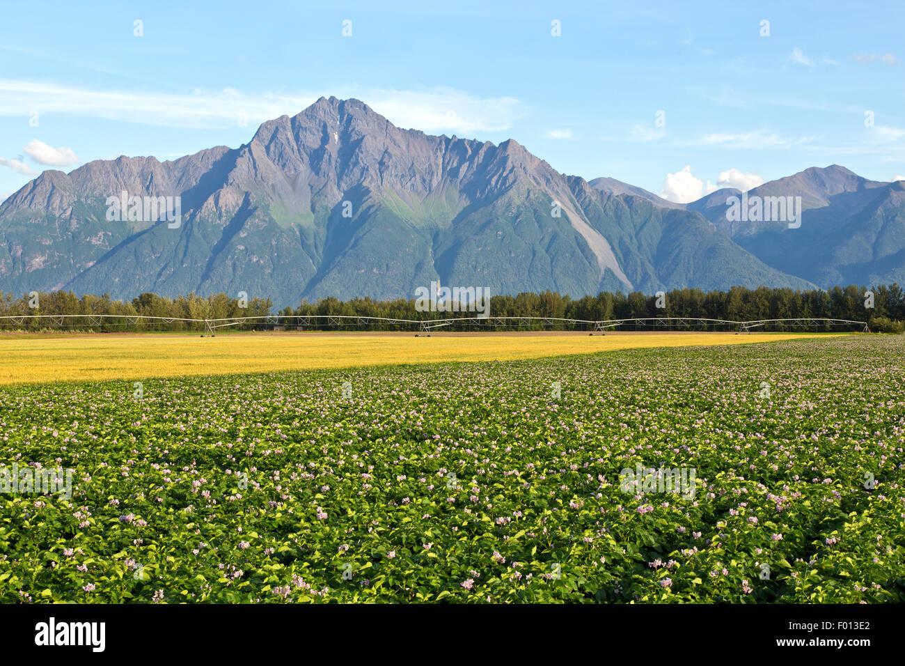 Blühende Kartoffelfeld, reifen Weizen, Rad Linie Bewässerung. Stockfoto