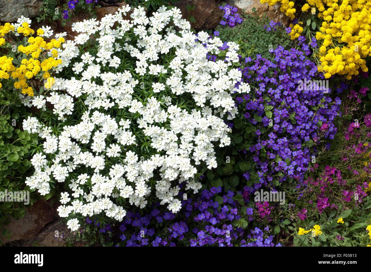 steingartenpflanzen seit blaukissen aubrieta schleifenblume stockfoto bild 86123999 alamy. Black Bedroom Furniture Sets. Home Design Ideas