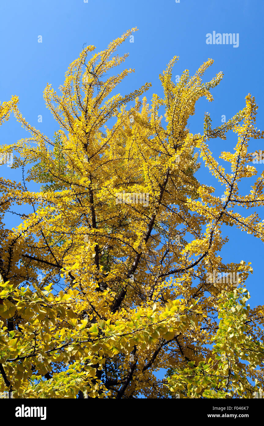 Ginkgo Biloba, Baum, Herbst,- Stockbild