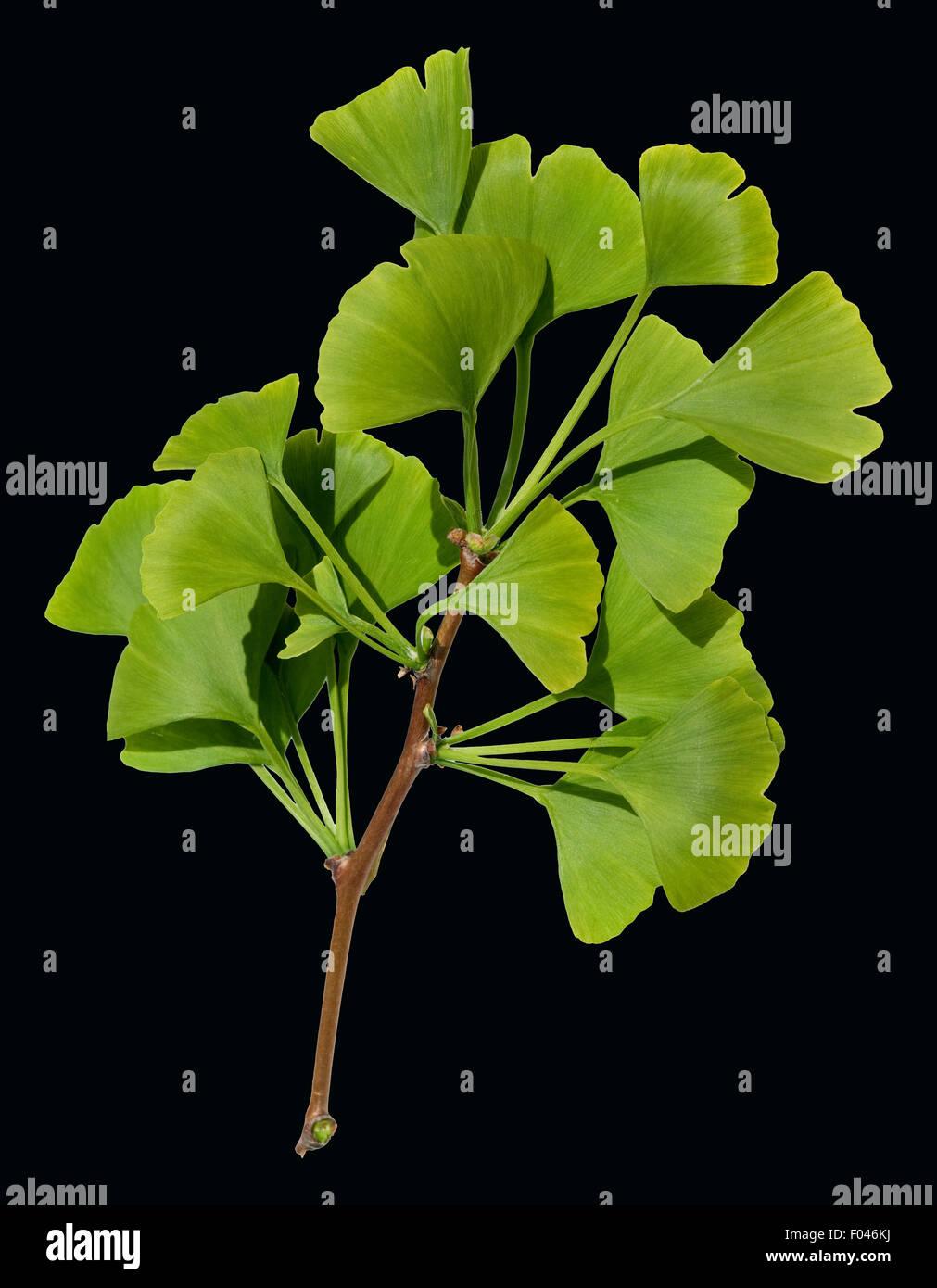 Ginkgo Biloba, Ginkgonadel, Lebendes Fossil, Baum des Jahres- Stockbild