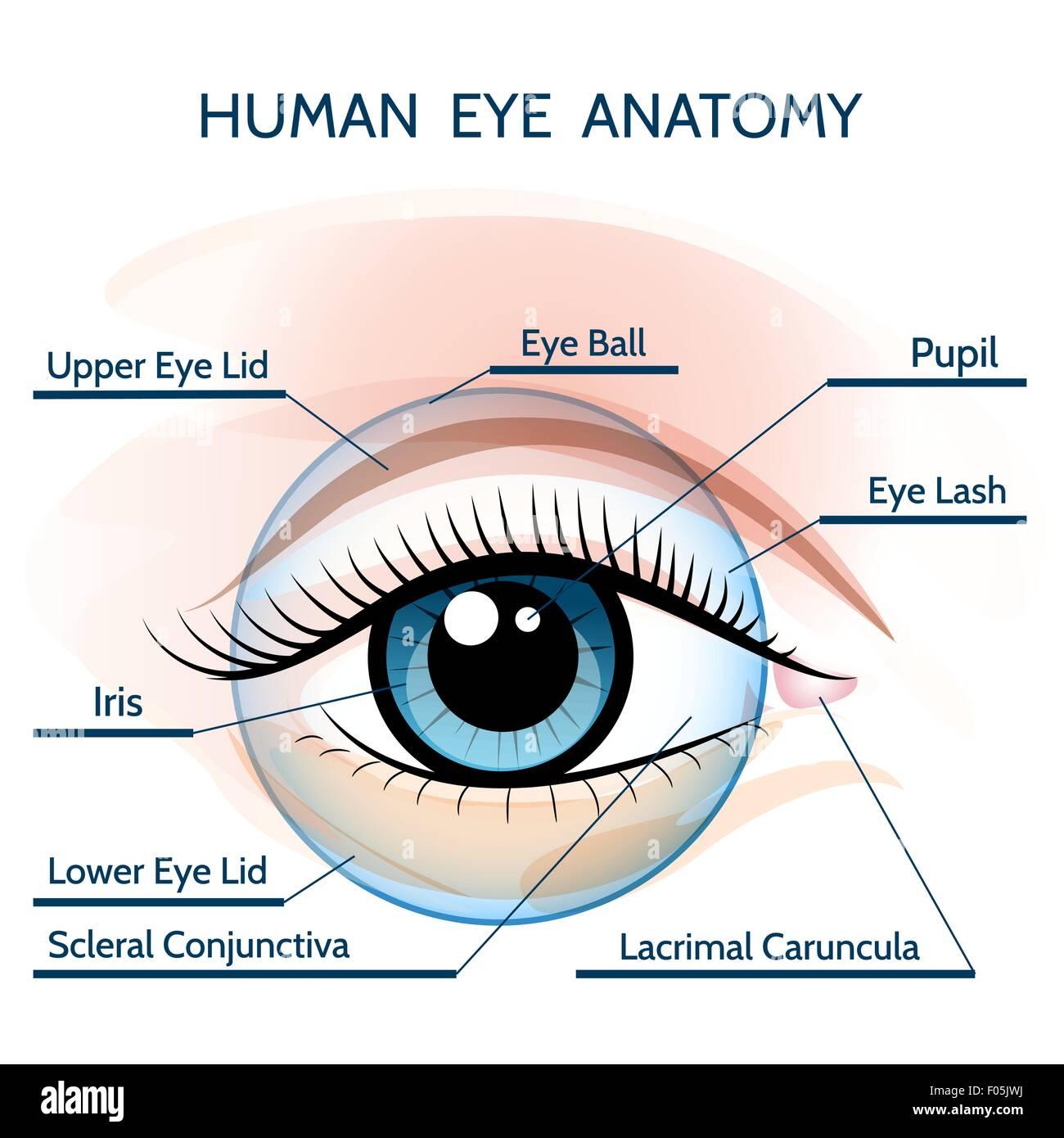 Menschliche Auge Anatomie Abbildung. Nur kostenlose Schriftart ...