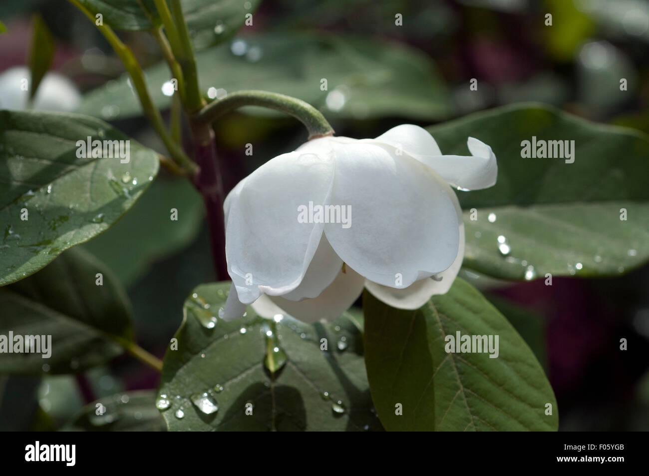 magnolie stockfotos magnolie bilder alamy. Black Bedroom Furniture Sets. Home Design Ideas