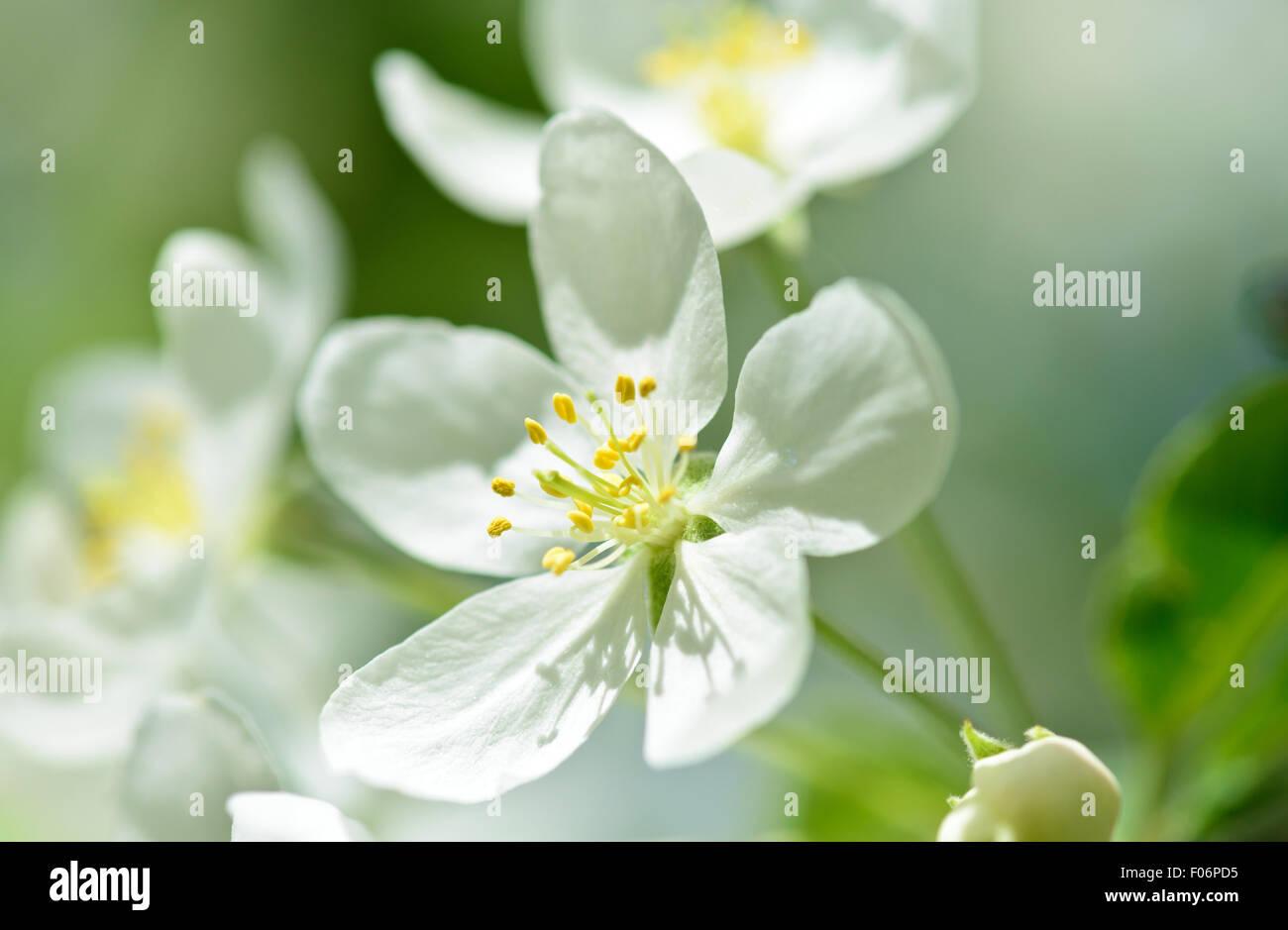 Frühling Blumen Kirschbaum Zweig Makro Stockbild