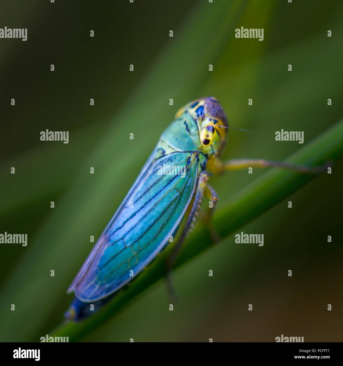 Grüne Leafhopper (Cicadella Viridis) - strahlende Fellow wenn nur ca. 7 mm lange im feuchten Grünland Stockbild