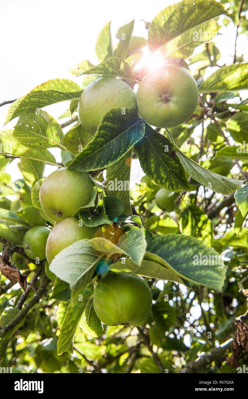 äpfel Wachsen