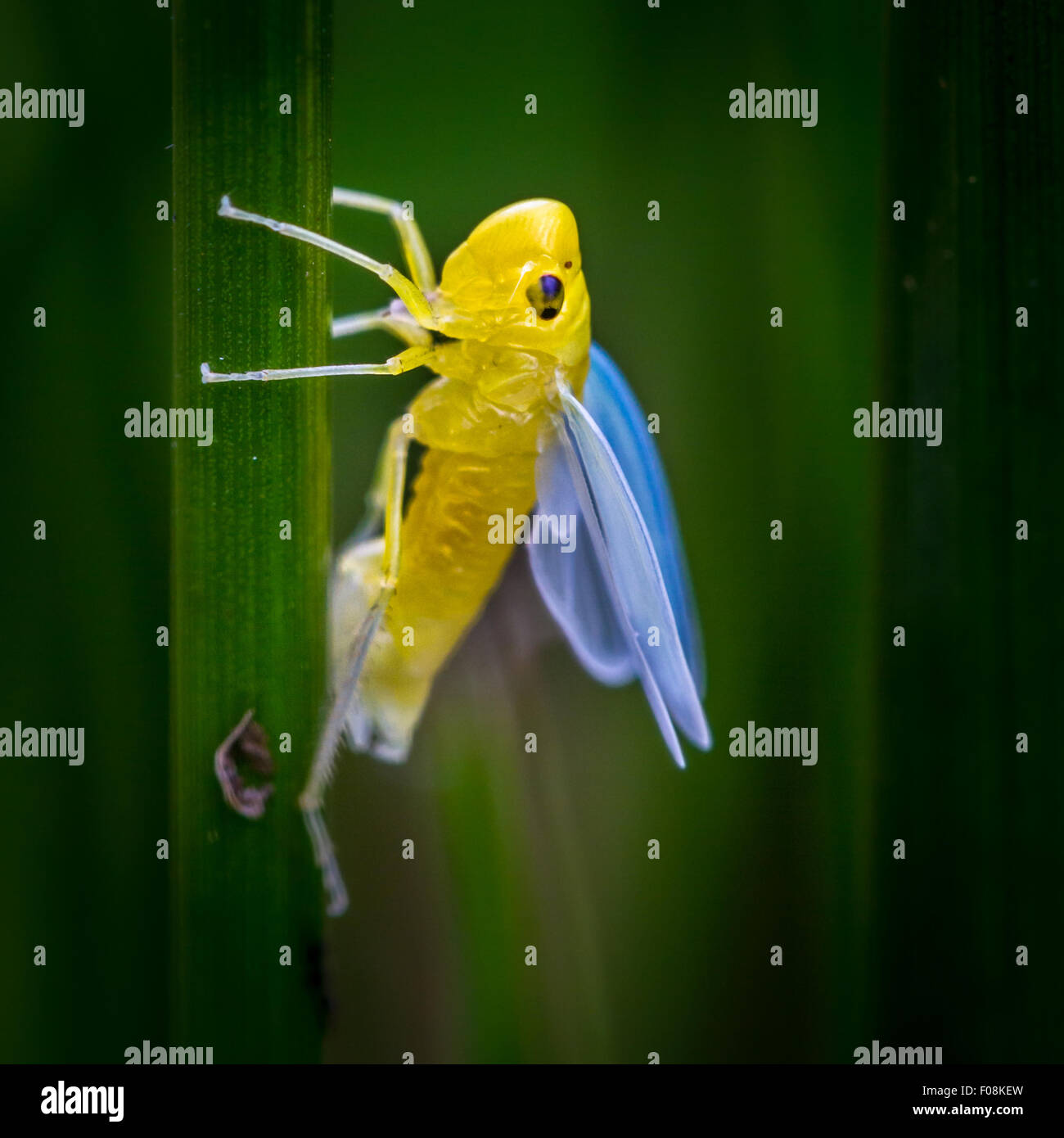 Grüne Leafhopper (Cicadella Viridis) - entsprang neu Nymphe mit Außenmantel noch auf dem Halm - warten Stockbild