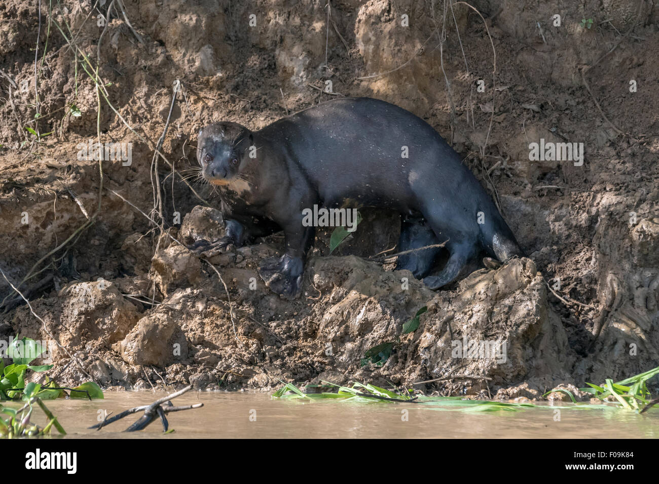 Riesigen Fluss Otter (Pteronura Brasiliensis) mit großen Schwimmhäuten, Rio Cuiabá, Pantanal, Brasilien Stockbild
