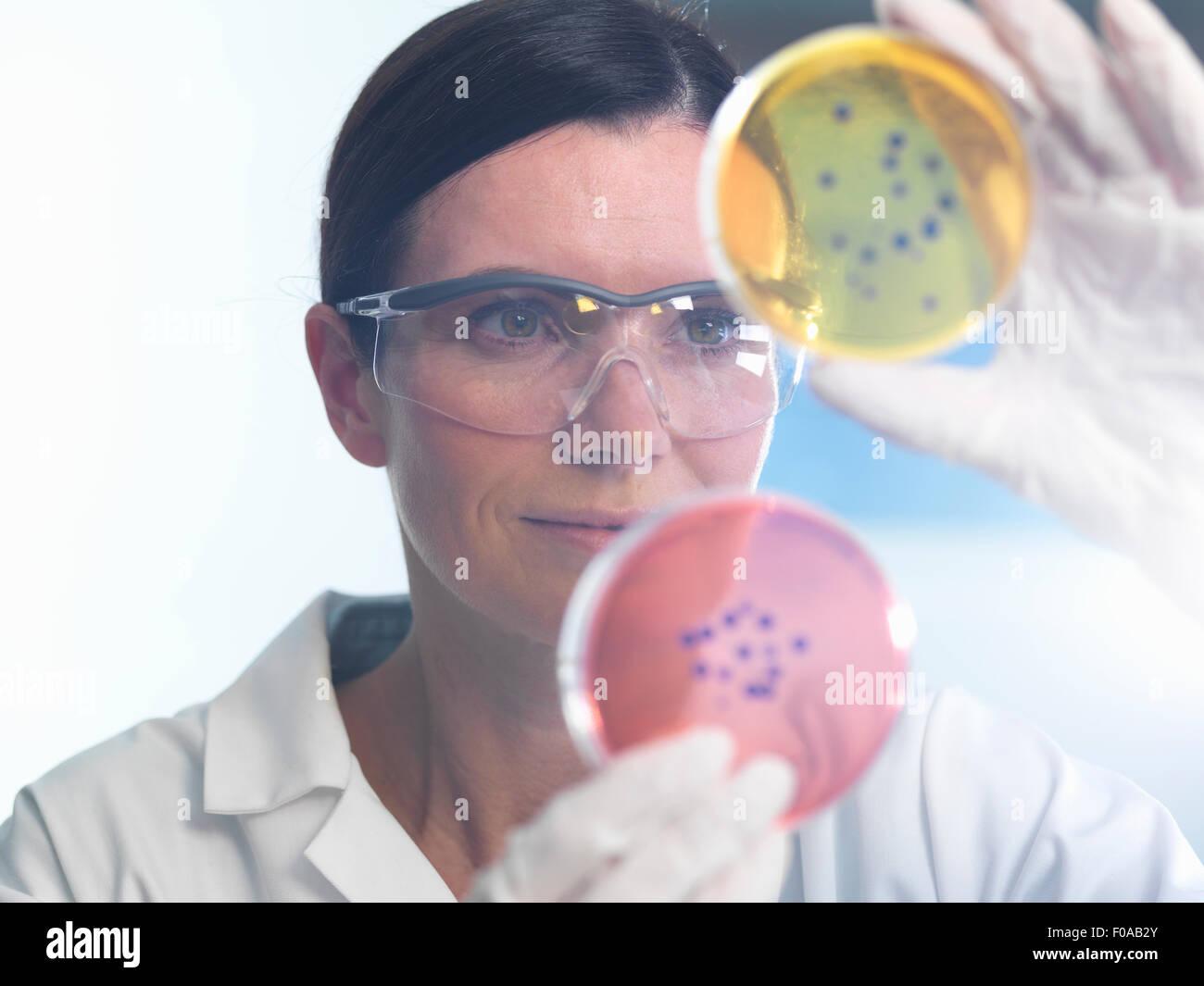 Wissenschaftler untersuchen Satz von Petrischalen im Mikrobiologielabor Stockbild