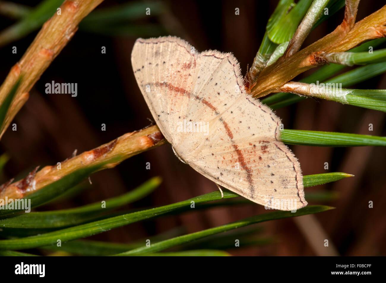 Maidens Blush (Cyclophora Punctaria) Erwachsenen thront auf den Nadeln einer Tanne im gemeinsamen nationalen Naturreservat Stockbild