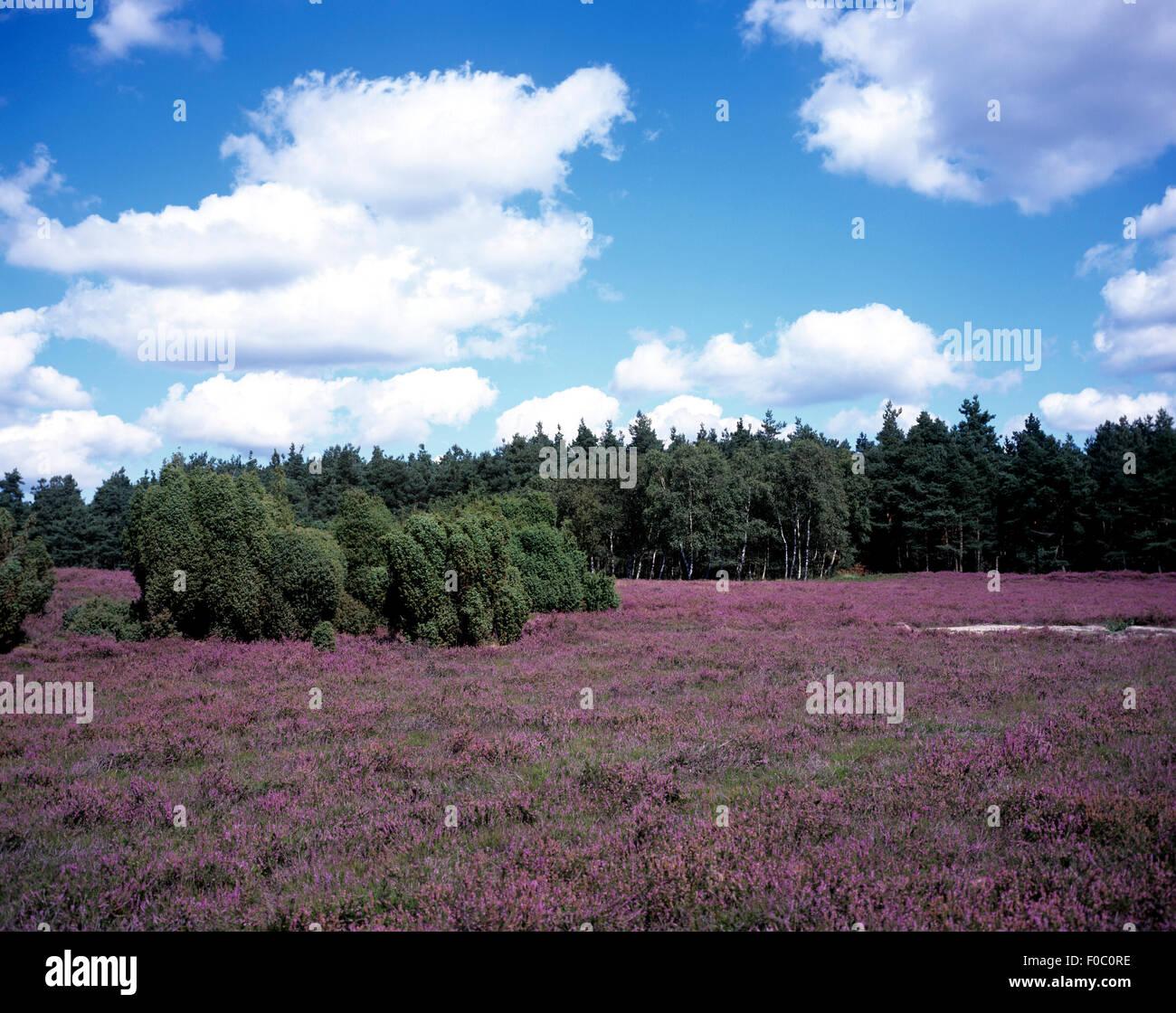 Lüneburger Heide; Bluehende, Stockbild