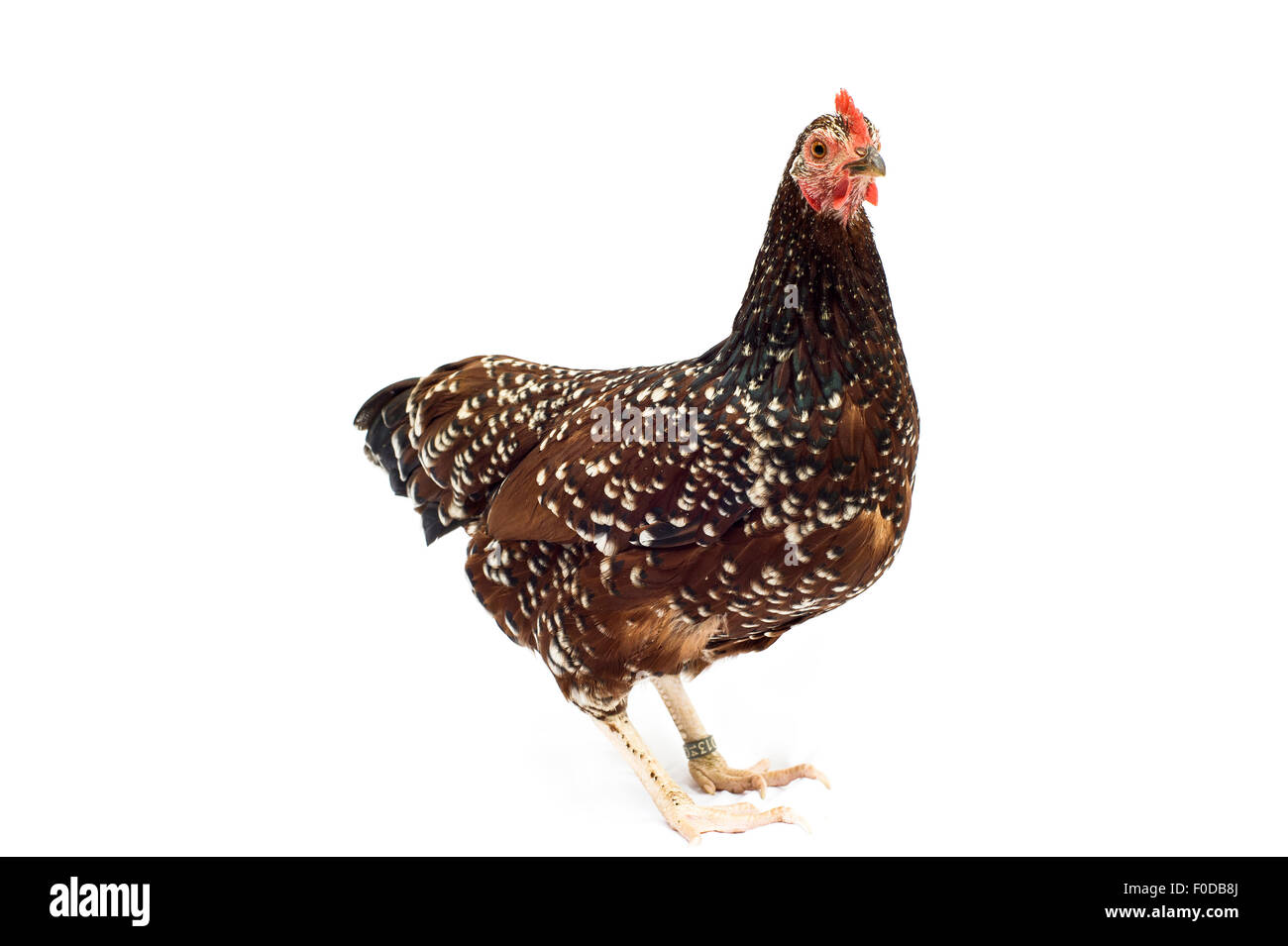 Sussex-Huhn-Rasse Stockbild