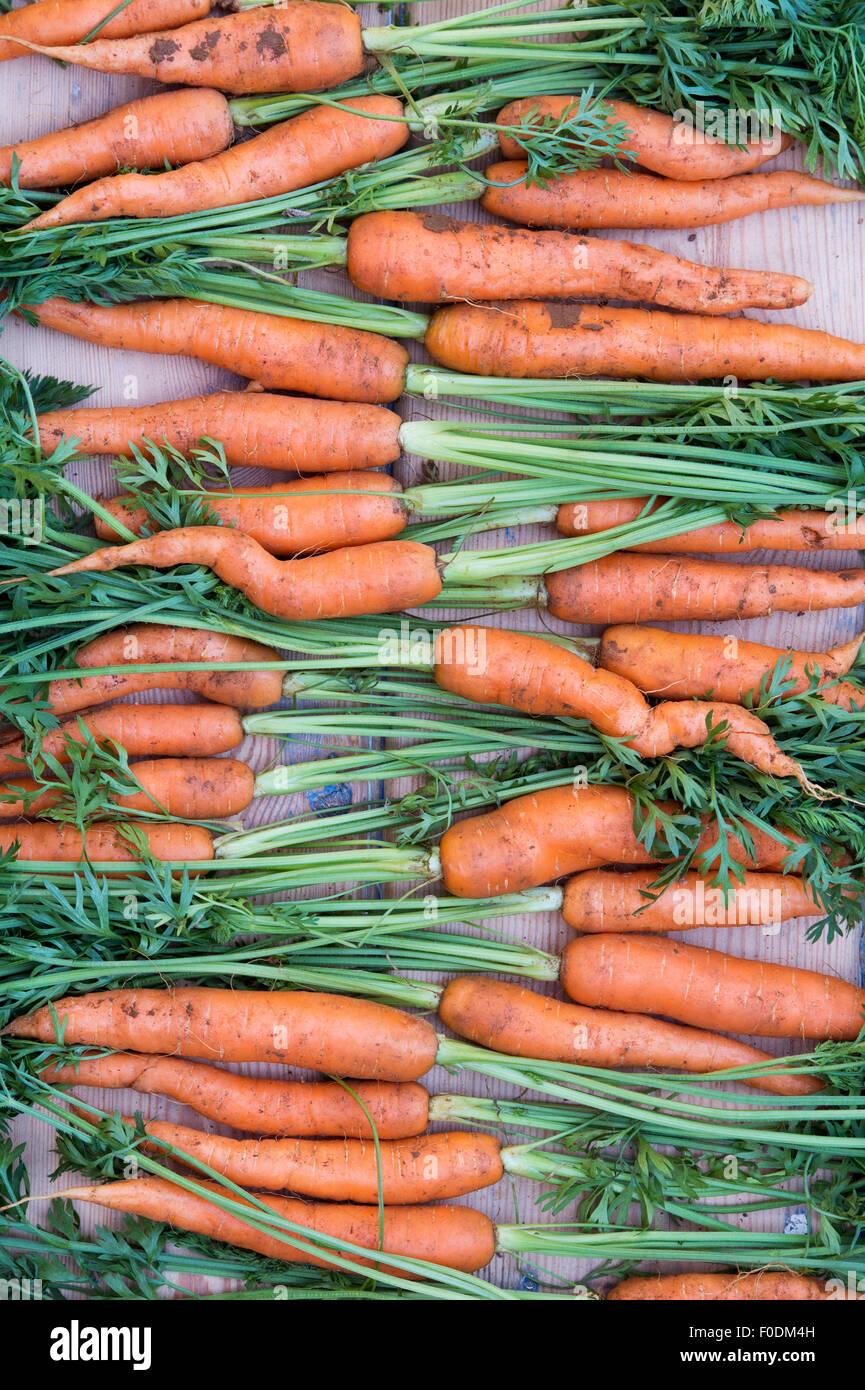 Daucus Carota. Bio-Karotten frisch gegraben Stockbild
