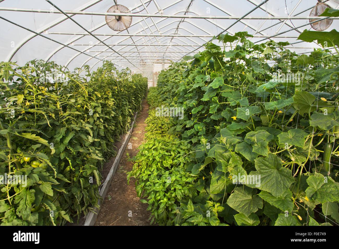 Organisch wachsen Tomaten, Basilikum, Paprika und Gurken, Tunnel. Stockfoto