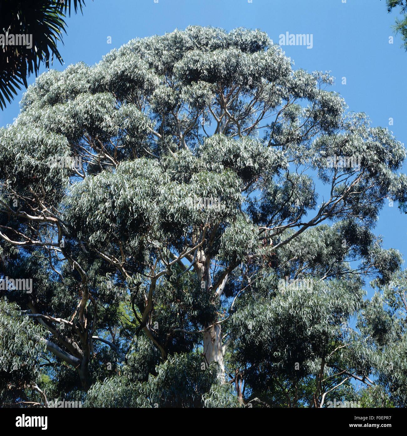 eucalyptus baum stockfotos eucalyptus baum bilder alamy. Black Bedroom Furniture Sets. Home Design Ideas