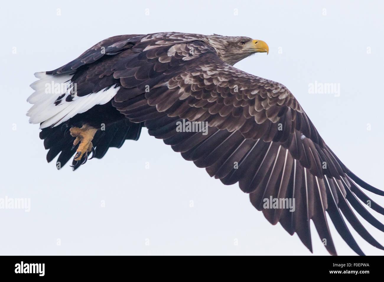 Eine Nahaufnahme Foto auf ein Seeadler, Haliaeetus Horste, fliegen Stockbild