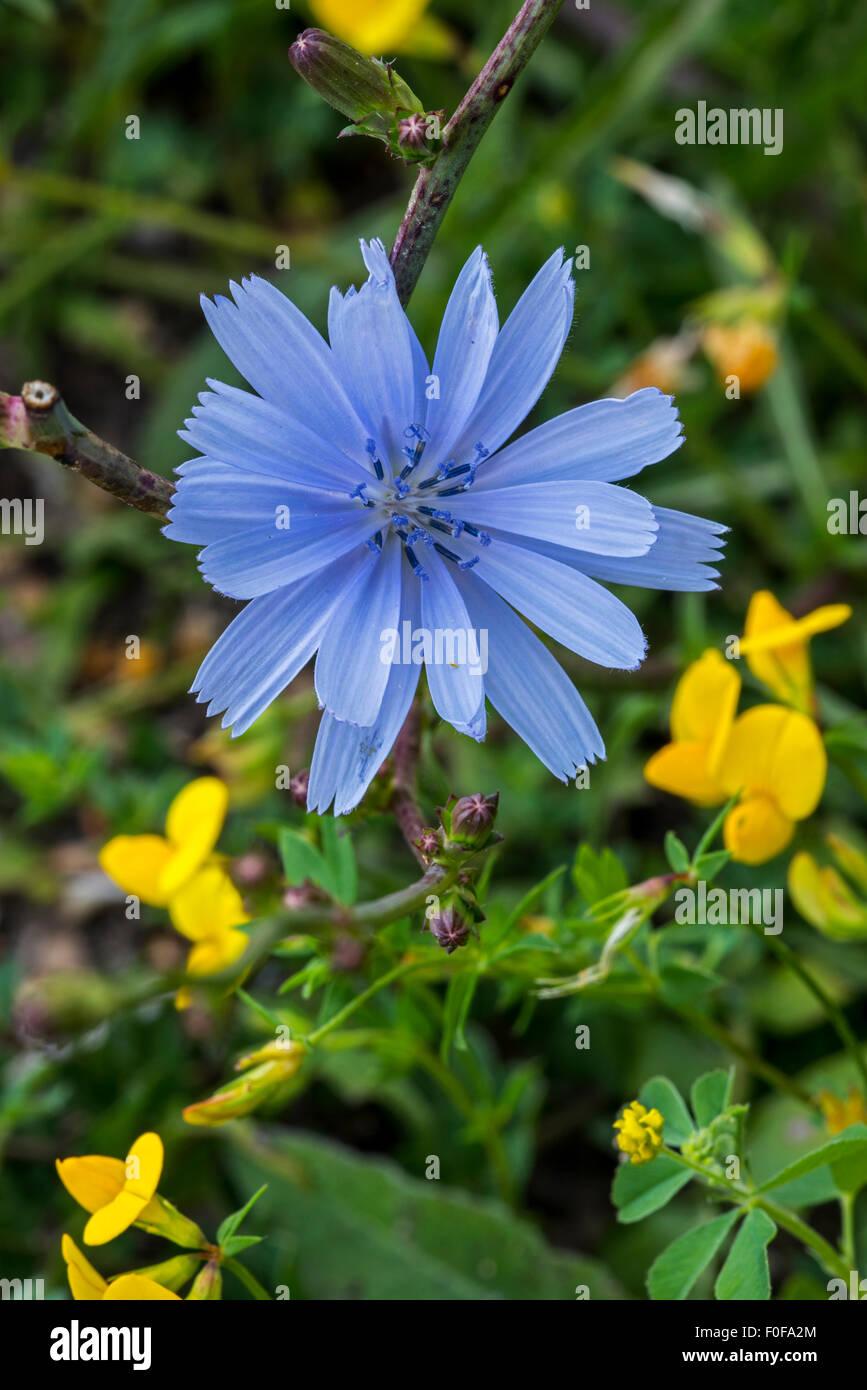 Gemeinsamen Chicorée Daisy Blue Blue Löwenzahn Blau Unkraut