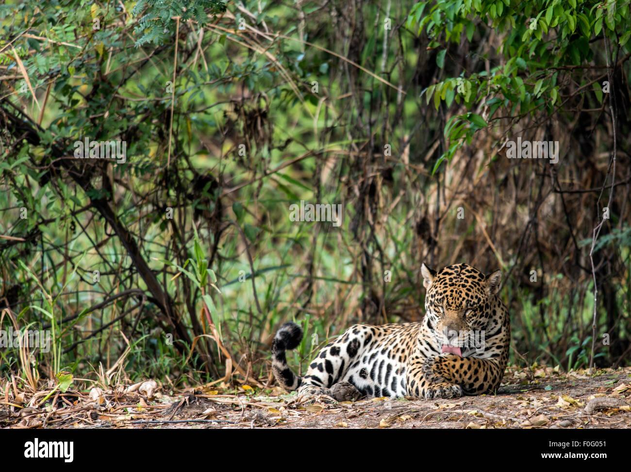 Erwachsenen Jaguar Pflege durch drei Brüder Fluss Pantanal Mato Grosso, Brasilien Stockbild