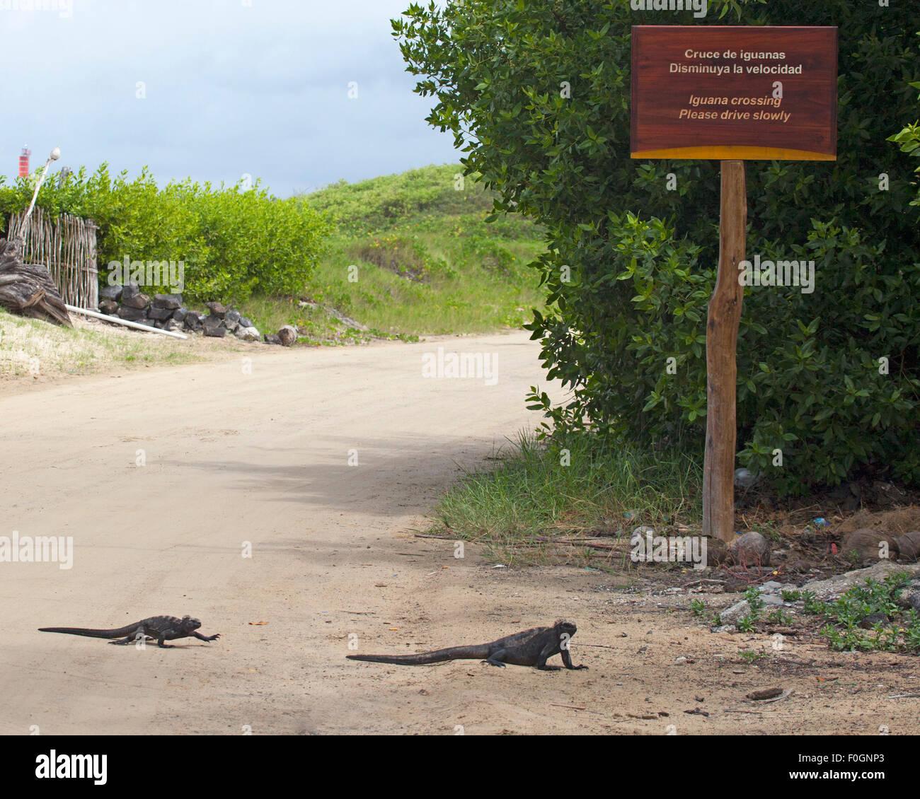 Meerechsen (Amblyrhynchus Cristatus) zu Fuß über die Straße in der Nähe von Leguan Kreuzung Stockbild