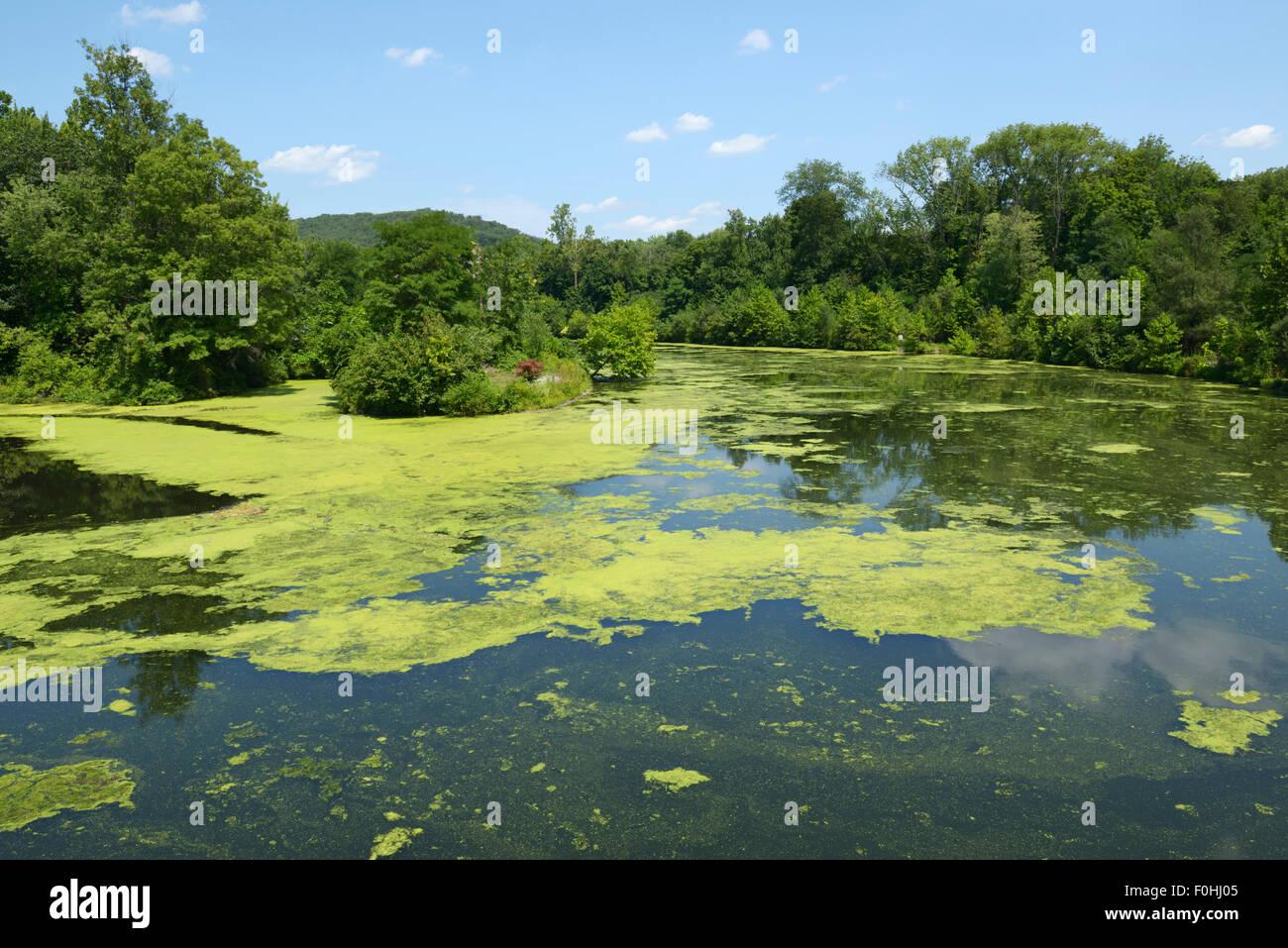 Algenblüte infolge der Eutrophierung, Ramapo River, northern NJ. Verunreinigung des Wassers Stockbild