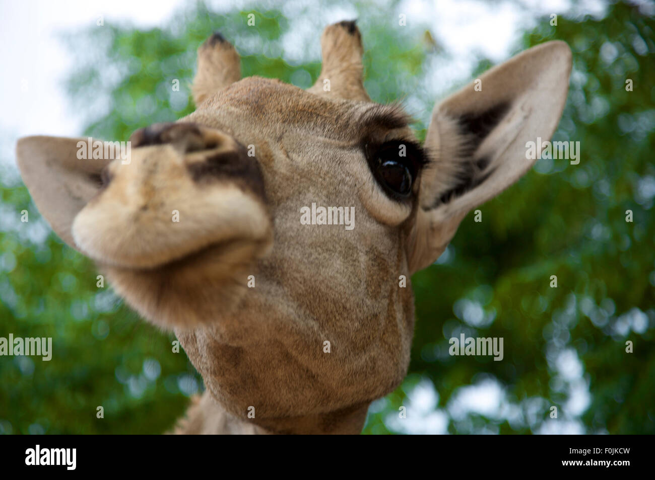 Background Funny Giraffe Cartoon Stockfotos Background Funny