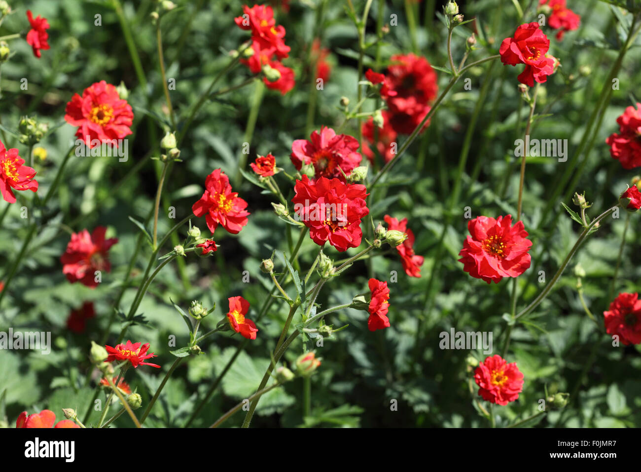 "Geum ""Frau Bradshaw"" Pflanzen in Blüte Stockbild"