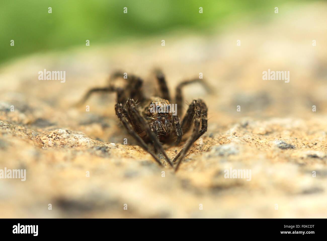 Große Spinne sitzt auf dem Felsen Stockbild