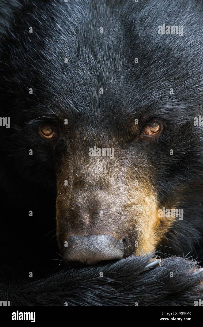 Ein Porträt von einem schwarzen Bären. Stockbild